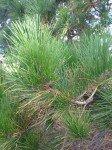 aiguille de pin - printemps - emergence et conscience