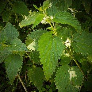 L'ortie - plante médicinale - emergence et conscience