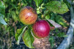 pommes, nature ,alimentation viviante